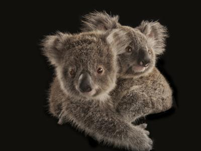 Joeys Cling to Each Other before Being Placed with Human Caregivers by Joel Sartore