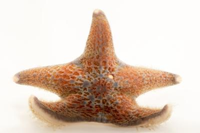 Leather star, Dermasterias imbricata, at Aquarium of the Pacific. by Joel Sartore
