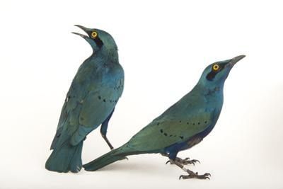 Lesser Blue-Eared Glossy Starlings, Lamprotornis Chloropterus, at the Houston Zoo