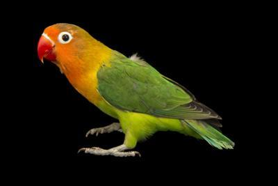 Lilian's or Nyasa Lovebird, Agapornis Lilianae, from a Private Collection