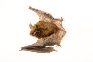 Little brown bat at the Wildlife Rehabilitation Center in Roseville, Minnesota. by Joel Sartore