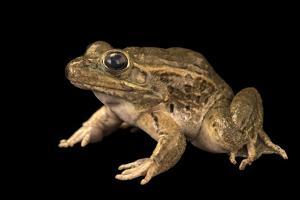 Lowland leopard frog, Lithobates yavapaiensis by Joel Sartore