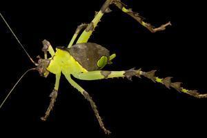 Malaysian katydid, Ancylecha fenestrata, at the Budapest Zoo. by Joel Sartore