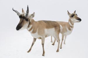 Male and Female Pronghorn Antelope, Antilocapra Americana, at Great Plains Zoo. by Joel Sartore