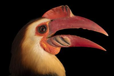 Male writhed hornbill, Rhabdotorrhinus leucocephalus, at Talarak Foundation. by Joel Sartore