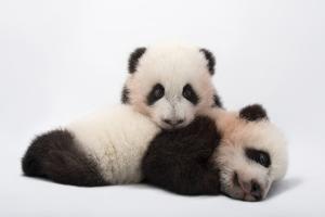 Mei Lun and Mei Huan, Twin Giant Panda Cubs, Ailuropoda Melanoleuca. by Joel Sartore