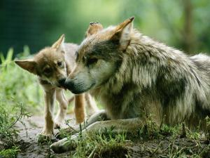 Mexican Gray Wolves by Joel Sartore
