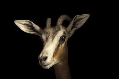 Mhorr's gazelle, Gazella dama mhorr, at the Budapest Zoo. by Joel Sartore
