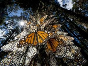 Millions of monarch butterflies travel to winter roosts in Mexico. by Joel Sartore
