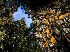 Monarch Butterflies Cover Every Inch of a Tree in Sierra Chincua by Joel Sartore