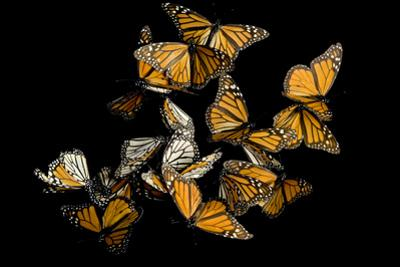 Monarch Butterflies, Danaus Plexippus, in the Sierra Chincua Mountains. by Joel Sartore