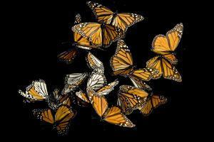 Monarch Butterflies, Danaus Plexippus, in the Sierra Chincua Mountains. by Joel Sartore