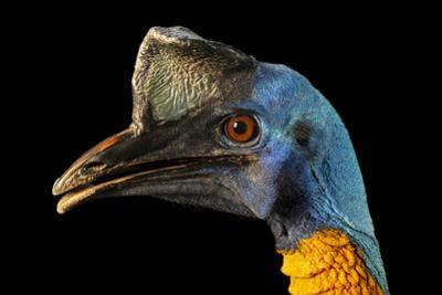 Northern cassowary, Casuarius unappendiculatus unappendiculatus, at the Avilon Zoo. by Joel Sartore