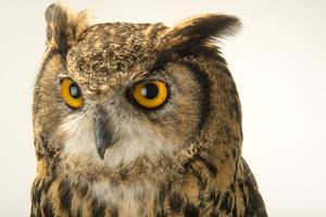Northern eagle owl, Bubo bubo tenuipes, the Budapest Zoo. by Joel Sartore