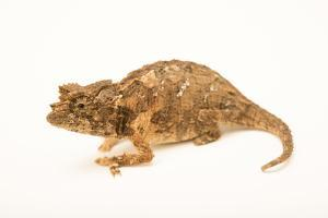 Northern leaf chameleon, Brookesia ebenaui, from a private collection. by Joel Sartore