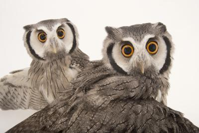 Northern White-Faced Owls, Ptilopsis Leucotis, at the Cincinnati Zoo by Joel Sartore