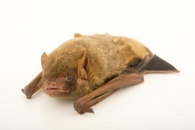 Northern yellow bat, Lasiurus intermedius, at the Austin Bat Refuge. by Joel Sartore