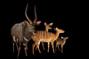 Nyala, Tragelaphus Angasii, at the Houston Zoo. by Joel Sartore