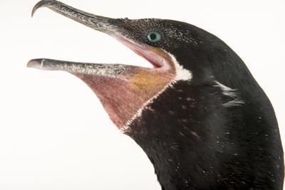 Olivaceous cormorant, Phalacrocorax olivaceous by Joel Sartore
