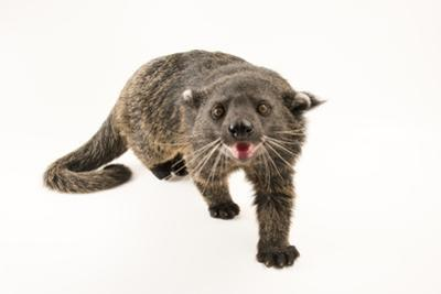 Palawan binturong, Arctictis binturong whitei, at the Nashville Zoo. by Joel Sartore