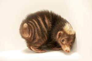 Palawan stink badger, Mydaus marchei, at the Avilon Zoo. by Joel Sartore