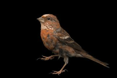 Pallas's Rosefinch, Carpodacus Roseus, from a Private Collection