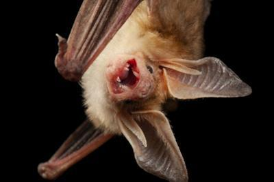 Pallid bat, Antrozous pallidus, at the North Carolina Zoo. by Joel Sartore