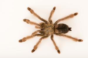 Panama blonde tarantula, Psalmopoeus pulcher by Joel Sartore