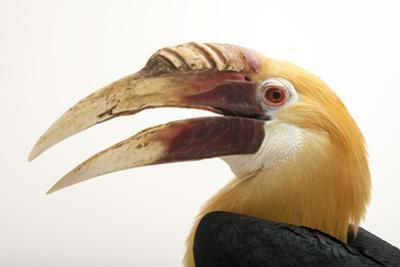 Papuan Hornbill, Rhyticeros Plicatus, from a Private Collection
