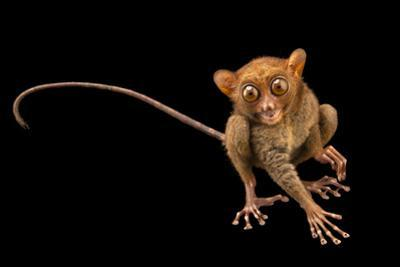 Philippine tarsier, Tarsius syrichta syrichta, at the Avilon Zoo. by Joel Sartore
