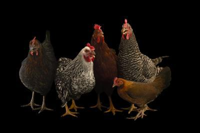 Plymouth Barred Rock, Silver Laced Wyandotte, Nh Red, a Black Sex Link and Bantam Hens. by Joel Sartore