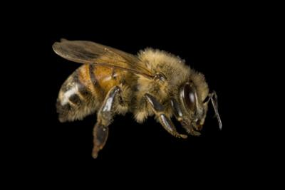 Portrait of a Honeybee, Apis Mellifera. by Joel Sartore