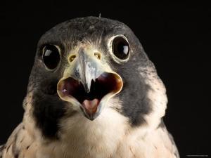 Portrait of a Peregrine Falcon, Lincoln, Nebraska by Joel Sartore