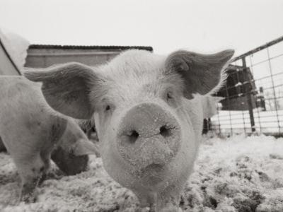 Portrait of a Young Pig