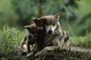 Pups of Captive Mexican Gray Wolves by Joel Sartore