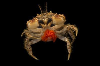 Pygmy rock crab, Glebocarcinus oregonensis, at the Alaska SeaLife Center. by Joel Sartore