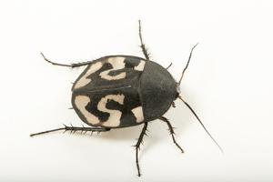 Question mark cockroach, Therea olegrandjeani, at the Budapest Zoo. by Joel Sartore