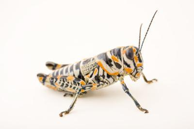 Rainbow grasshopper or barber pole grasshopper or picture grasshopper by Joel Sartore