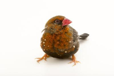 Red Avadavat, Red Munia or Strawberry Finch, Amandava Amandava, from a Private Collection