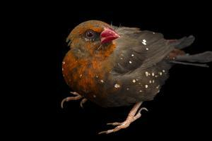 Red Avadavat, Red Munia or Strawberry Finch, Amandava Amandava, from a Private Collection by Joel Sartore