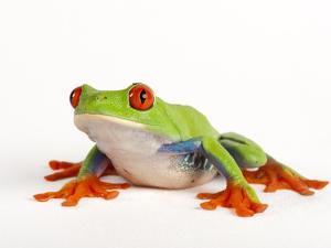 Red Eyed Tree Frog, Agalychnis Callidryas by Joel Sartore