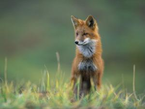 Red Fox by Joel Sartore