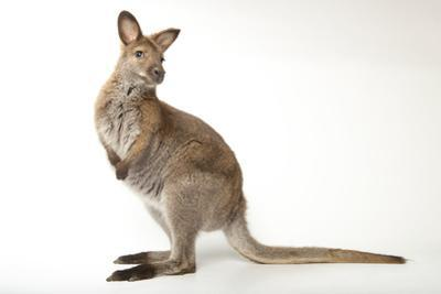 Red-Necked Wallabies, Macropus Rufogriseus, Have a Social Hierarchy. by Joel Sartore
