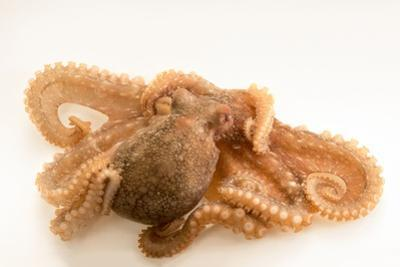 Red octopus, Octopus rubescens, at the Aquarium of the Pacific. by Joel Sartore