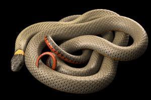 Regal ringneck snake, Diadophis punctatus regalis by Joel Sartore