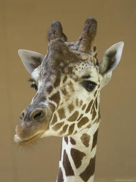Reticulated Giraffe Makes a Slanted Grin at the Henry Doorly Zoo, Nebraska by Joel Sartore