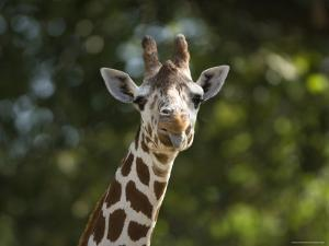 Reticulated Giraffe Sticks its Tongue Out at the Camera, Henry Doorly Zoo, Nebraska by Joel Sartore