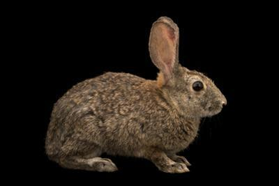 Riparian brush rabbit, Sylvilagus bachmani riparius by Joel Sartore