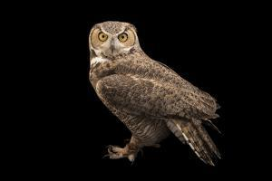 Rocky Mountains Great Horned Owl at Southwest Wildlife Conservation Center by Joel Sartore
