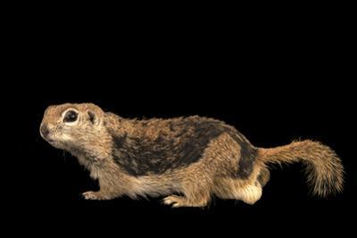 Round tailed ground squirrel, Xerospermophilus tereticaudus by Joel Sartore